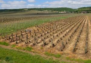 Vinice po chemickém ošetření herbicidy. Zdroj: wineterroirs.com